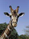 反对蓝天的长颈鹿 库存图片