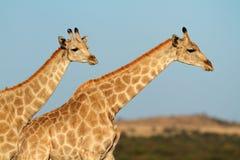 反对蓝天的长颈鹿 免版税库存照片