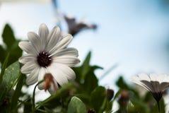 反对蓝天的非洲雏菊 免版税图库摄影