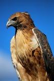 反对蓝天的鹰 免版税库存图片