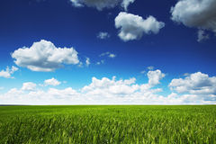 反对蓝天的麦田与白色云彩 农业scen 库存图片