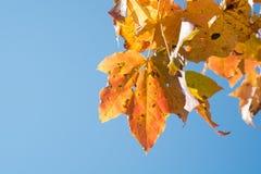 反对蓝天的黄色槭树叶子 库存照片