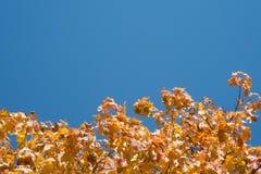 反对蓝天的黄色槭树叶子 库存图片