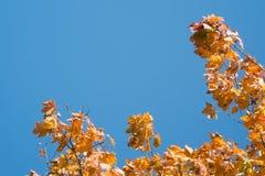 反对蓝天的黄色槭树叶子 免版税库存照片