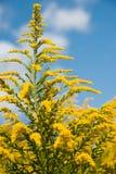 反对蓝天的黄色野花 库存照片