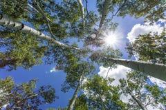 反对蓝天的绿色亚斯本树与太阳 库存图片