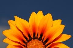 反对蓝天的黄色大丁草 免版税库存照片