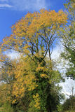 反对蓝天的黄色树 免版税库存照片