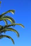 反对蓝天的绿色棕榈叶状体 库存照片
