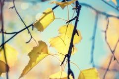 反对蓝天的黄色秋叶 免版税库存图片