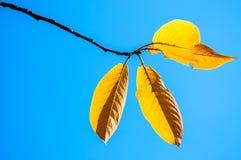 反对蓝天的黄色秋叶 免版税图库摄影