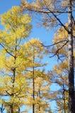 反对蓝天的黄色秋天落叶松属树 免版税库存图片