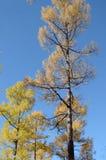 反对蓝天的黄色秋天落叶松属树 图库摄影
