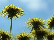 反对蓝天的黄色蒲公英花 背景蒲公英充分的草甸春天黄色 对设计 侧视图 图库摄影