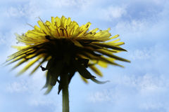 反对蓝天的黄色蒲公英花 背景蒲公英充分的草甸春天黄色 对设计 侧视图 库存照片