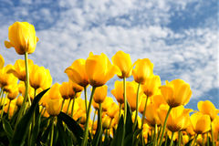 反对蓝天的黄色郁金香 免版税库存照片