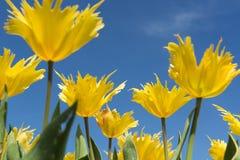 反对蓝天的黄色郁金香 库存图片