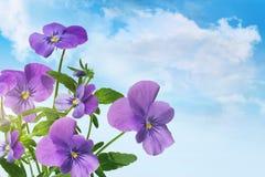 反对蓝天的紫色紫罗兰色花 免版税图库摄影