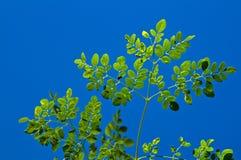 反对蓝天的年轻辣木科树 免版税库存照片