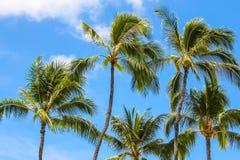 反对蓝天的Palmtrees 库存图片