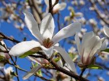 反对蓝天背景的一朵大白色木兰花 免版税库存图片