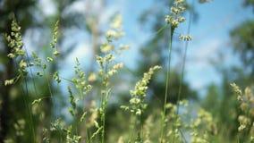 反对蓝天背景的绿色开花的草 股票视频