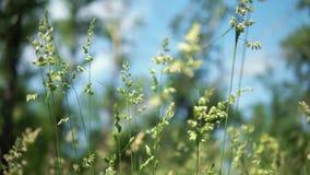 反对蓝天背景的绿色开花的草 影视素材