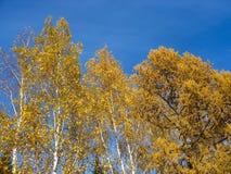 反对蓝天背景的金黄桦树和落叶松属上面 免版税库存图片
