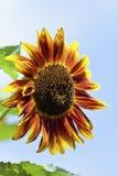 反对蓝天,关闭的红色黄色向日葵 库存图片