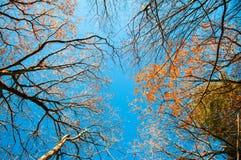 反对蓝天,成田,日本的五颜六色的秋天树 免版税库存图片
