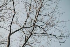 反对蓝天,死的树,在蓝天背景的树的干燥树枝 库存图片