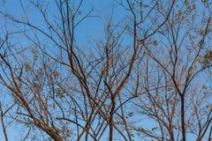 反对蓝天,死的树,在蓝天背景的树的干燥树枝 库存照片