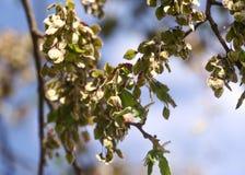 反对蓝天, backlite,春天的开花的ilm 库存照片