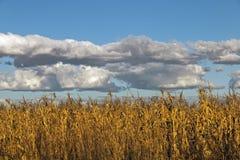 反对蓝色多云天空的金黄色的冬天玉米庄稼 免版税图库摄影