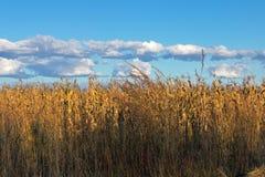 反对蓝色多云天空的金黄色的冬天玉米庄稼 库存图片