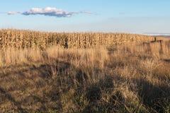 反对蓝色多云天空的金黄色的冬天玉米庄稼 库存照片