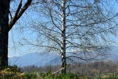 反对蓝色完善的天空的白杨树树在一春天好日子 免版税库存照片