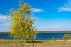 反对蓝色无云的天空的偏僻的垂柳树在德聂伯级河沿 库存照片