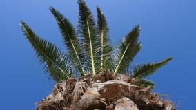 反对蓝色无云的天空,低角度视图的棕榈树 影视素材
