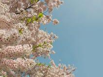 反对蓝色春天天空的Appletree花 免版税库存照片