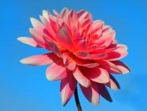 反对蓝色生动的天空的充满活力的桃红色大丽花花 库存图片
