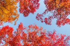 反对蓝色的五颜六色的秋叶 库存图片