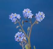 反对蓝色的精制的勿忘草花 图库摄影
