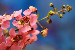 反对蓝色背景的桃红色Angelonia花 库存图片