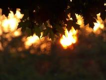 反对被弄脏的日落背景的槭树叶子 免版税库存图片