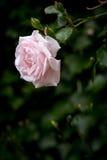 反对被弄脏的深绿背景的淡粉红的玫瑰,垂直 免版税库存图片