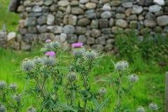 反对被弄脏的石墙背景的开花的蓟 免版税图库摄影