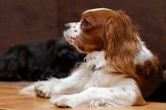 反对被弄脏的背景的国王查尔斯狗 库存照片