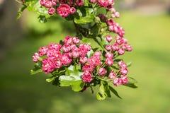 反对软的绿色背景的桃红色树开花 库存照片