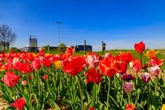 反对都市背景的红色郁金香与摩天大楼 免版税库存图片